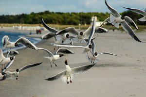 black-headed-gulls-361142_1920